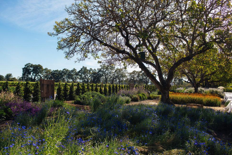 在加州州立大学的加州公园里的一种,加州的圣草,